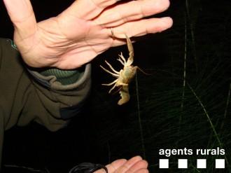 Identifiquen 624 exemplars de cranc de riu autòcton al Solsonès
