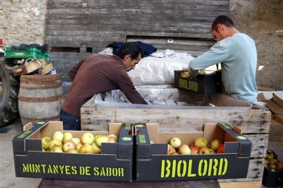 Els productors de poma ecològica de muntanya del Solsonès calculen una collita de cent tones