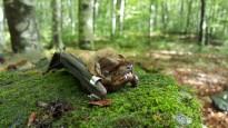 Troben noves colònies als Pirineus d'una espècie amenaçada de ratpenat forestal