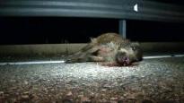 Vés a: Unió de Pagesos es mobilitzarà contra la reintroducció de l'ós i el llop al Pirineu