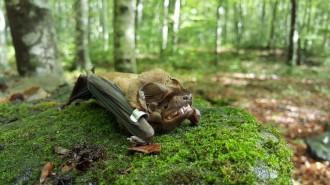 Vés a: Troben al Pirineu noves colònies d'una espècie de ratpenat forestal