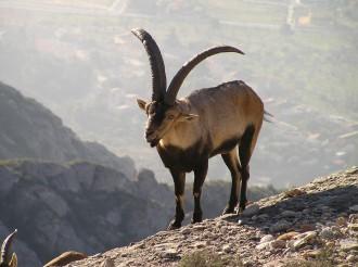 Vés a: La població de cabra salvatge als Ports ha caigut a la meitat en 30 anys