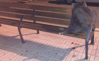 Vés a: Troben mort un porc senglar al centre de Balaguer
