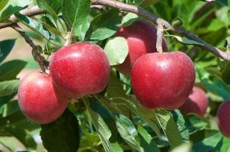 Vés a: L'IRTA Mas Badia redueix la despesa d'aigua en el conreu de poma