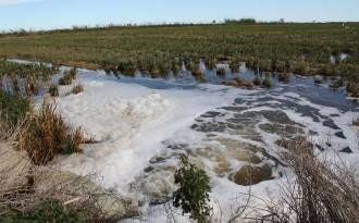 Vés a: Èxit de la salinització contra el caragol poma al Delta