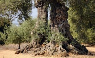 Vés a: Les oliveres mil·lenàries del Sénia aspiren a convertir-se en Patrimoni Agrícola Mundial