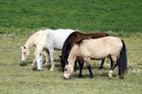 Vés a: Un grup de cavalls s'acomiada del Garraf per iniciar el camí de la transhumància cap al Berguedà