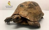 Vés a: La Guàrdia Civil intervé un exemplar de tortuga mora al Baix Ebre