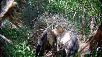 Vés a: La lluita contra el cargol poma afecta les aus aquàtiques al Delta