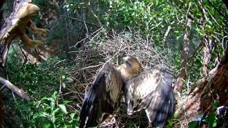 Vés a: El PN dels Ports segueix un niu d'àguila calçada amb una càmera web