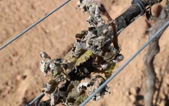 Vés a: Una gelada inesperada afecta una part de les vinyes d'Horta de Sant Joan