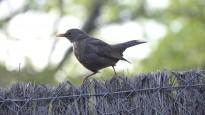 Les ciutats posen en perill milions d'anys d'història evolutiva del ocells