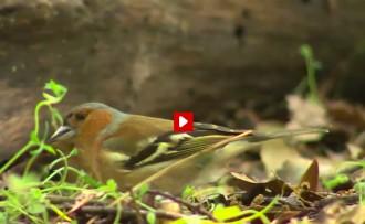 Vés a: VÍDEO El cant dels ocells al Corredor i el Montnegre