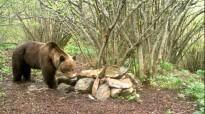 Vés a: Activat un dispositiu per a foragitar l'ós Goiat i modificar-ne el comportament