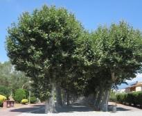 Vés a: Neix la Plataforma en defensa dels arbres del carrer Verdaguer a Vic