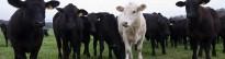 Vés a: Volen crear la «vaca del futur» perquè resisteixi l'escalfament global