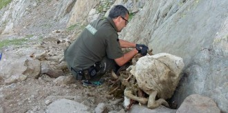 Vés a: Les ovelles mortes a Lladorre, al Pallars Sobirà, es van estimbar espantades per l'atac d'un ós