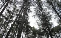 Vés a: La no gestió dels boscos accelera la substitució de pins per alzines