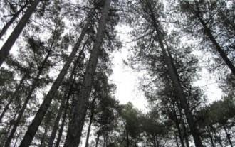 Vés a: Protegeixen el bosc de pinassa amb els drets de tala de dues finques del Solsonès