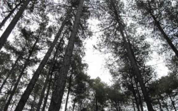 La Fundació Catalunya protegeix el bosc de pinassa adquirint els drets de tala de dues finques del Solsonès