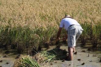 Vés a: La calor, la humitat i el fong 'Pyricularia' fan preveure pèrdues significatives en la producció d'arròs al Delta