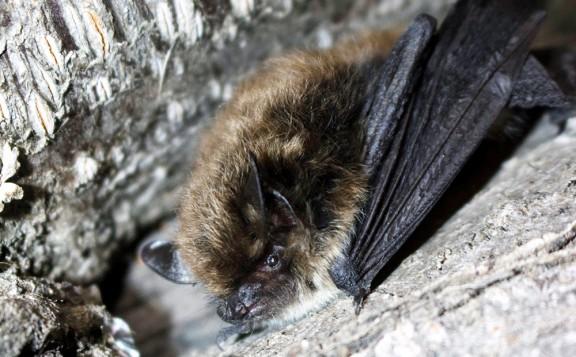 Vés a: Troben ratpenats de bigotis per primera vegada al Parc Natural del Cadí-Moixeró