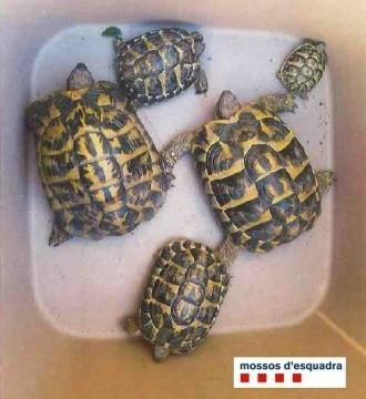 Vés a: Els Mossos recuperen 22 tortugues d'una espècie protegida que es venien per Internet