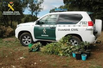 Detingut per cultivar una seixantena de plantes de marihuana a l'Alt Urgell
