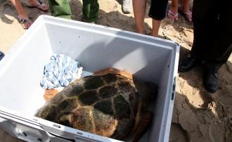 Vés a: Apareix un exemplar de tortuga babaua morta a la platja de Riumar de Deltebre