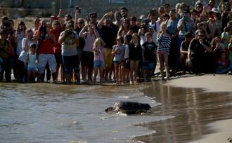 Vés a: Alliberen a la platja del Trabucador 14 tortugues babaues