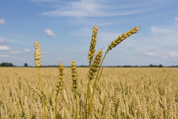 L'augment de temperatura amenaça la producció agrícola mundial