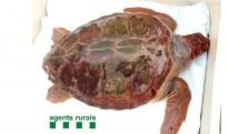 Vés a: Recullen viva una tortuga babaua de gairebé 40 quilos a la Ràpita