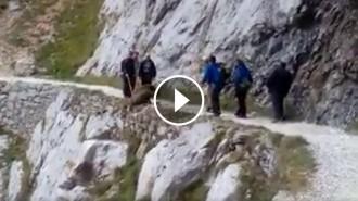 Vés a: VÍDEO Investiguen un grup de senderistes que va estimbar un senglar a la ruta del Cares