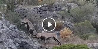 Vés a: VÍDEO Espectacular lluita entre dos mascles de cabra salvatge al massís del Port