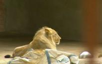 Vés a: VÍDEO Impressionant vol d'estornells a Alcanar Platja