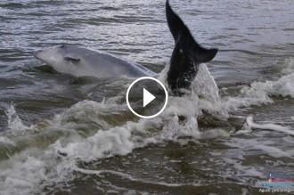 Vés a: VÍDEO Un mosso fora de servei salva un dofí que havia quedat embarrancat a Deltebre