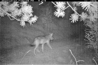 Vés a: Detecten un llop que ha atacat set ramats d'ovelles al Solsonès