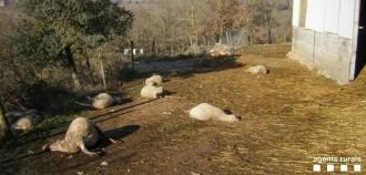 Vés a: Dos gossos perillosos ataquen un ramat i maten diverses ovelles al Solsonès