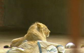 Vés a: El lleó Simba ja té permís per viure en pau a la finca de Sant Jaume de Llierca