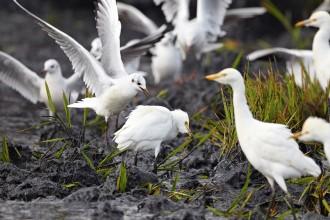 Vés a: Els experts preveuen una davallada d'ocells aquàtics al Delta per l'assecament d'arrossars