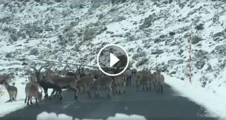 Vés a: VÍDEO Un ramat de cabres salvatges es menja la sal del desgel a la carretera