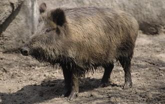 Vés a: Un porc senglar ataca un caçador a Santa Bàrbara