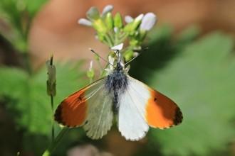 Vés a: Neix el primer observatori ciutadà de papallones urbanes