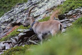 Vés a: El Parc Natural de l'Alt Pirineu crea un  fulletó divulgatiu sobre el retorn de l'herc