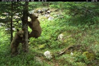 Vés a: Neixen sis nous cadells d'ós bru al Pirineu el 2017