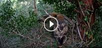Vés a: Nous plànols d'Espot i Port Ainé per a respectar la fauna amenaçada