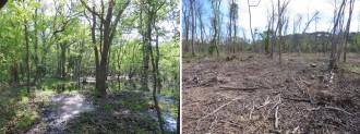 Vés a: Denuncien la tala del bosc inundable de roure pènol de Can Verdalet a Tordera
