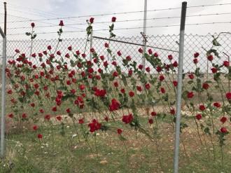 Vés a: 200 roses omplen la tanca d'Alcalá Meco en solidaritat amb Forcadell i Bassa