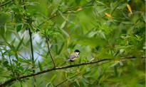 Vés a: Els naturalistes proposen el Dia del Cor de l'Alba el primer diumenge de maig
