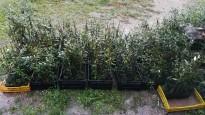 Vés a: Ullastrell recupera les oliveres becarudes